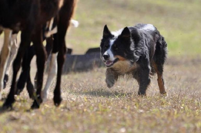 Curso gratuito de Adestramento de C�es para Pastoreiro ser� realizado em S�o Borja