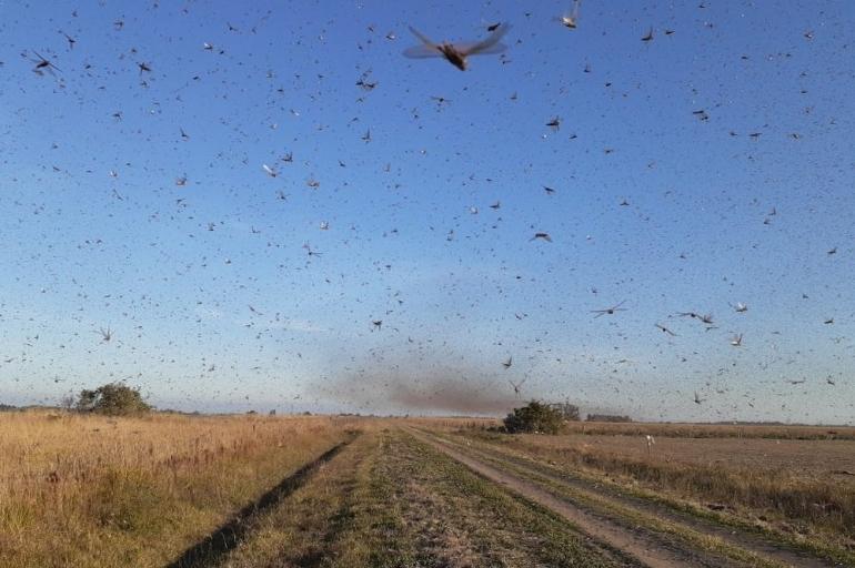 Emater orienta produtores da Fronteira Oeste a monitorar chegada de nuvem de gafanhotos