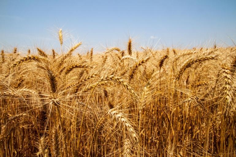 Aumento da área de cultivo traz boa expectativa para a safra de trigo em São Borja