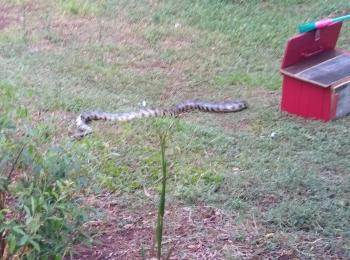 Cobra não venenosa de 1,80m é encontrada na zona urbana de SB